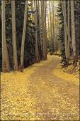 Dirt road through fall aspens