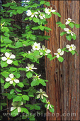 Mountain Dogwood in bloom against Redwood, Yosemite Valley