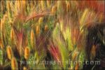 Morning light on Foxtail Barley, Mono Lake