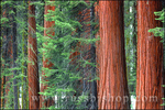 Giant Sequoias amid young pines in the Giant Forest