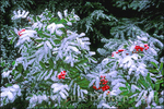 Fresh powder on wild berries and pines