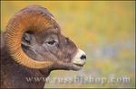 Close-up of a bighorm ram (profile)