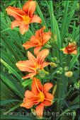 Orange Tiger Lilly