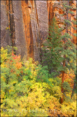 Soft light on fall color and pines against sandstone cliff in Upper Zion Canyon