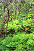 Lush tree ferns in the Tree Fern Forest
