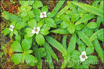 Detail of bunchberry dogwood in bloom and young sword ferns