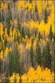 Golden fall aspens and firs in the San Juan Mountains, Uncompahgre National Forest, Colorado