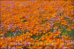California Poppies (Eschscholtzia californica) and Blue Gilia (Gilia rigidula), Antelope Valley, California