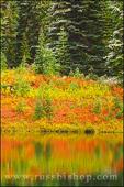 Fall colors and fresh powder on pines along the shore of Reflection Lake, Mount Rainier National Park, Washington