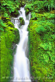 Moss and ferns surround cascade along the east fork of the Quinault River, Quinault Rain Forest, Olympic National Park, Washington