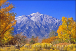 Fall cottonwood at Manzanar under Mount Williamson, Manzanar War Relocation Center National Historic Site, Owens Valley, California