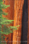 Giant Sequoias and young pines in the Giant Forest, Sequoia National Park, California