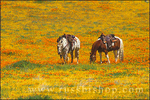 Horses in a field of California Poppies and Goldfields, Antelope Valley, California