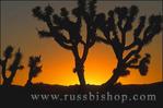 Silhouette of Joshua Trees (Yucca brevifolia) at sunset, Joshua Tree National Park, California