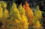 Yellow and orange fall aspens near June Lake, Inyo National Forest, Sierra Nevada Mountains, California