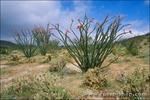 Ocotillo in bloom and cholla at Desert Garden, Anza-Borrego Desert State Park, California