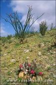 Beavertail Cactus and Ocotillo in bloom at Desert Garden, Anza-Borrego Desert State Park, California