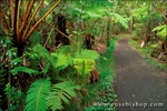 Fern forest along the Crater Rim Trail, Hawaii Volcanoes National Park, The Big Island, Hawaii