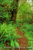 Sword ferns, sorrel, and bigleaf maple along trail in the Queets Rain Forest, Olympic National Park, Washington