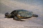 Green Hawaiian sea turtle basking on beach at the Pu'uhonua o Honaunau National Historic Park (City of Refuge), Kona Coast, The Big Island, Hawaii