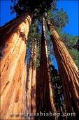 Giant Sequoias (Sequoiadendron giganteum) in the Giant Forest, Sequoia National Park, California