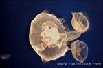 Moon jellies at the Monterey Bay Aquarium, Monterey, California