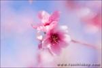 Apple blossoms, Antelope Valley, California