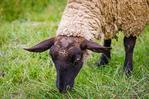 Normandy sheep, Mont Saint-Michel, Normandy, France