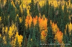 Fall aspens and firs in the San Juan Mountains, San Juan National Forest, Colorado