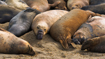 Northern elephant seals (Mirounga angustirostris) at Piedras Blancas Elephant Seal Rookery, San Simeon, California
