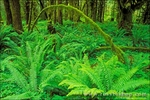Moss-covered Sitka spruce and sword ferns, Quinault Rain Forest, Olympic National Park, Washington