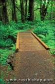 Wooden foot bridge along trail in the Quinault Rain Forest, Olympic National Park, Washington