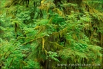 Moss-covered bigleaf maple (Acer macrophyllum) and western hemlock (Tsuga heterophylla) in the Hoh Rain Forest, Olympic National Park, Washington