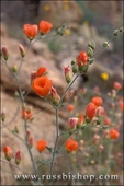 Desert mallow in the Cottonwood Mountains, Joshua Tree National Park, California