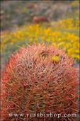 Barrel Cactus in bloom in the Cottonwood Mountains, Joshua Tree National Park, California