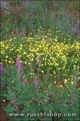 Lupine and Desert Dandelion (Malacothrix glabrata) in the Cottonwood Mountains, Joshua Tree National Park, California
