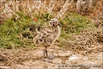 Western gull chick, Anacapa Island, Channel Islands National Park, California