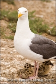 Western gull and chicks, Anacapa Island, Channel Islands National Park, California