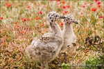 Western gull chicks, Anacapa Island, Channel Islands National Park, California
