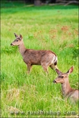Mule deer, Yosemite National Park, California