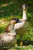 Nene birds, Hawaiian Goose, Kilauea National Wildlife Refuge, Island of Kauai, Hawaii