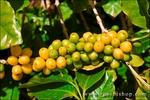 Green and yellow coffee cherries on the vine at the Kauai Coffee Company, Island of Kauai, Hawaii