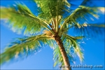 Coconut palm and blue sky, Island of Kauai, Hawaii