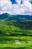 Taro fields in Hanalei Valley, Island of Kauai, Hawaii