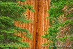 Giant Sequoias, Trail of 100 Giants, Giant Sequoia National Monument, California