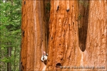 Giant Sequoias and hiker, Trail of 100 Giants, Giant Sequoia National Monument, California