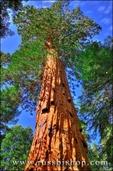 Giant Sequoias, Trail of 100 Giants, Giant Sequoia National Monument, California
