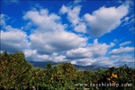 Orange groves loaded with oranges under blue sky and clouds in Ojai Valley, Ojai, California
