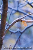 Frost on bare branches and leaf, Kolob Canyons, Zion National Park, Utah