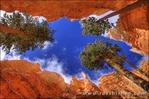 Looking up through Ponderosa pines along Wall Street, Bryce Canyon National Park, Utah